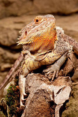 Dragon Photograph - Bearded Dragon, Pogona Vitticeps by David Northcott
