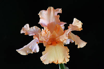 Photograph - Bearded Iris by Juergen Roth