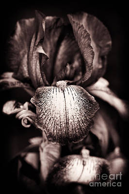 Garden Flowers Photograph - Bearded Iris Kent Pride by Tim Gainey