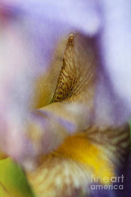 Photograph - Bearded Iris by Lee Craig