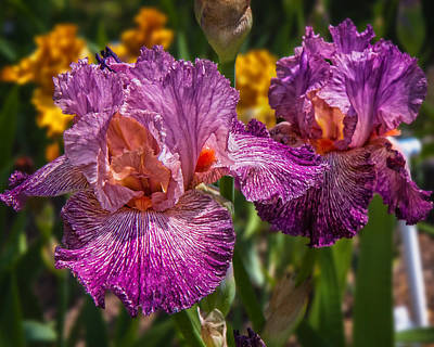 Photograph - Bearded Iris by Mary Almond