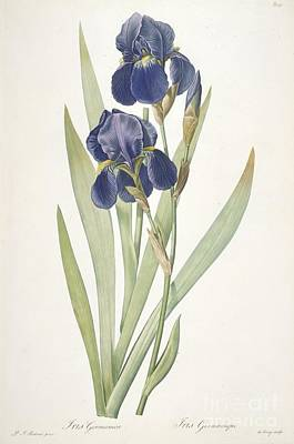 Iris Painting - Bearded Iris by Pierre Joseph Redoute