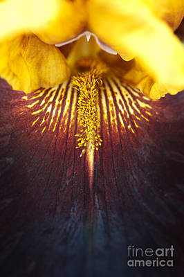 Bearded Iris 'supreme Sultan' Art Print by Tim Gainey