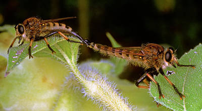 Photograph - Bearded Robber Flies Mating by Millard H. Sharp