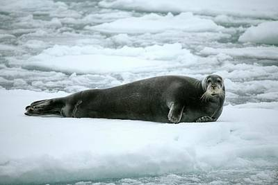 Bearded Seal On An Ice Floe Art Print