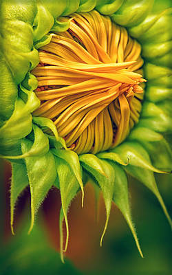 Photograph - Bearded Sunflower by Carolyn Derstine