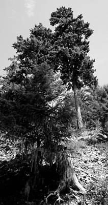 Photograph - Bearded Trees - Whistler by Amanda Holmes Tzafrir
