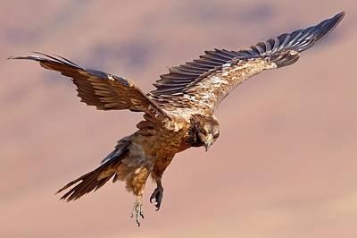 Bearded Vulture In Flight Art Print