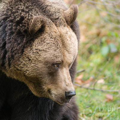 Photograph - Bear's Profile by Simona Ghidini