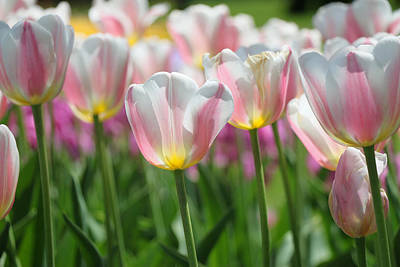 Photograph - Beau Monde Tulips by Allen Beatty