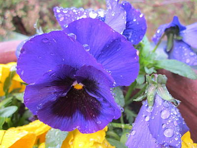 Springflowers Photograph - Beauties In The Rain by Rosita Larsson