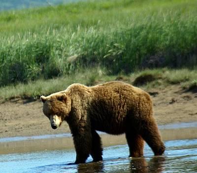 Bear Photograph - Beautiful Alaskan Brown Bear  by Patricia Twardzik