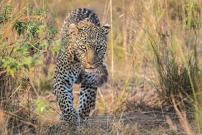Leopard Wall Art - Photograph - Beautiful And Deadly by Jeffrey C. Sink