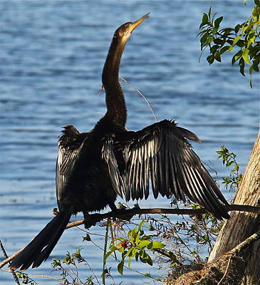 Photograph - Beautiful Anhinga  by Denise Mazzocco