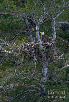 Photograph - Beautiful Bald Eagle And Her Nest by Cheryl Baxter