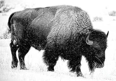Photograph - Beautiful Bison Black And White 12 by Boon Mee