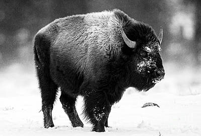 Photograph - Beautiful Bison Black And White 13 by Boon Mee