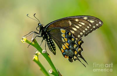 Photograph - Beautiful Black Swallowtail by Cheryl Baxter