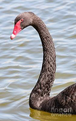 Photograph - Beautiful Black Swan by Carol Groenen