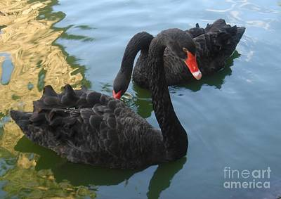 Art Print featuring the photograph Beautiful Black Swans by Carla Carson