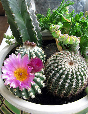 Photograph - Beautiful Blooming Cactuses by Ausra Huntington nee Paulauskaite