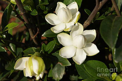 Photograph - Beautiful Gardenia Blossoms by Megan Cohen
