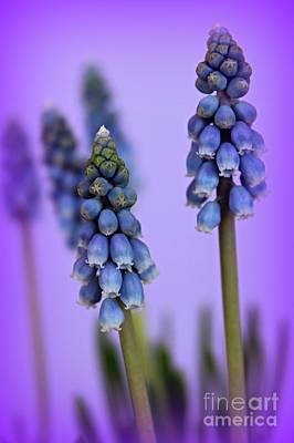 Muscari Photograph - Beautiful Blue by Clare Bevan