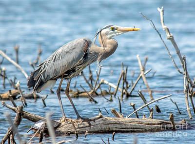 Photograph - Beautiful Blue Heron by Cheryl Baxter