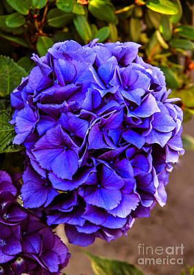 Beautiful Blue Hydrangea Art Print