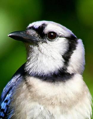 Photograph - Beautiful Blue Jay by Ira Runyan