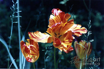 Art Print featuring the photograph Gorgeous Tulip by Phyllis Kaltenbach