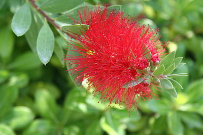 Photograph - Beautiful Bottle Brush Flower With Garden Background  by Tracey Harrington-Simpson