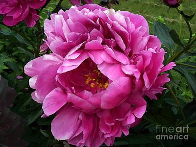 Beautiful Bright Pink Frilly Peony Art Print by Maureen Tillman