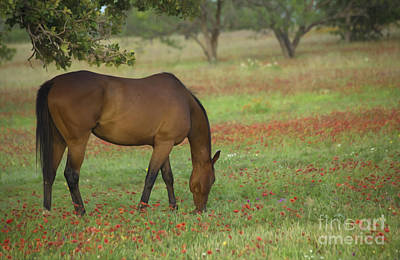 Quarter Horses Photograph - Beautiful Brown American Quarterhorse In Field Of Red Firewheel  by Bridget Calip