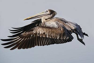 Beautiful Brown Pelican In Flight Art Print by Paulette Thomas
