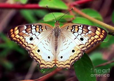 White Peacock Photograph - Beautiful Butterfly by Carol Groenen