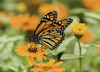 Photograph - Beautiful Butterfly Feeding by Gary Slawsky