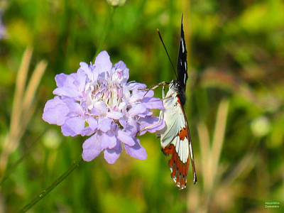 Photograph - Beautiful Butterfly On Flower by Alexandros Daskalakis