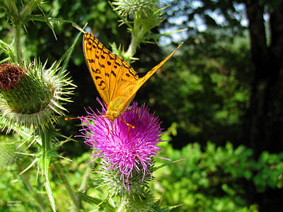 Photograph - Beautiful Butterfly On Thistle by Alexandros Daskalakis