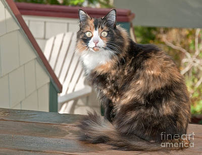 Photograph - Beautiful Calico Cat Sitting On Deck Outside by Valerie Garner