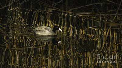 Clearlake Photograph - Beautiful Coot by Mitch Shindelbower