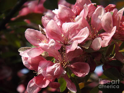 Photograph - Beautiful Crab Apple Blossoms by Brenda Brown