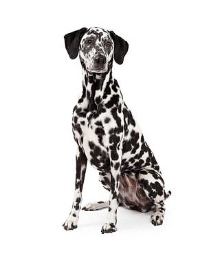Beautiful Dalmatian Dog Sitting Art Print by Susan Schmitz