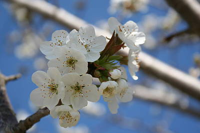 Photograph - Beautiful Delicate Cherry Blossom Flowers by Tracey Harrington-Simpson