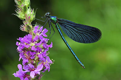 Beautiful Demoiselle Male Switzerland Art Print by Thomas Marent