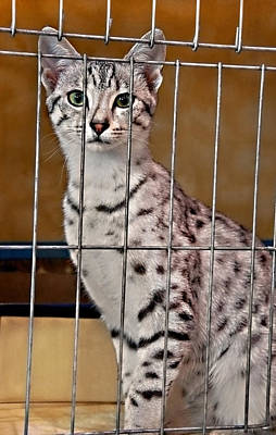 Photograph - Beautiful Egyptian Maus Cat In Cage by Valerie Garner