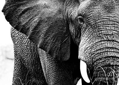 Beautiful Elephant Black And White 1 Art Print