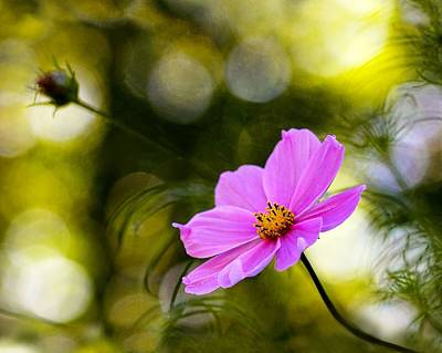 Print featuring the photograph Beautiful Evening Pink Cosmos Wildflower by Tracie Kaska