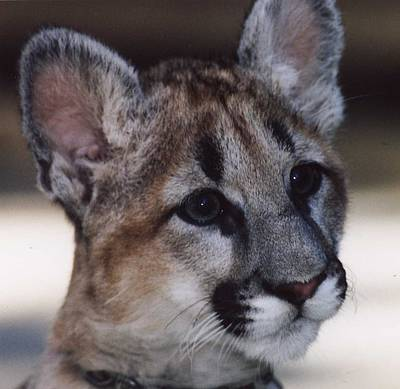 Beautiful Face-cougar Cub Art Print by Myrna Walsh