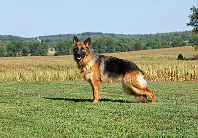 Beautiful German Shepherd Print by Sandy Keeton